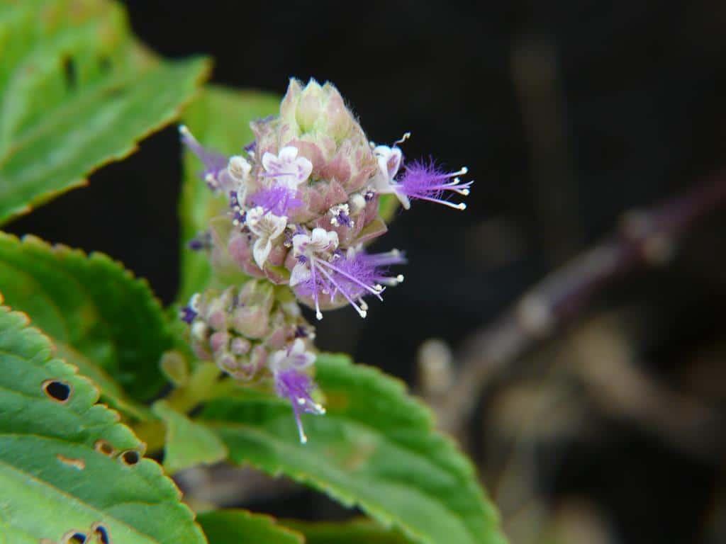flor de patchouli